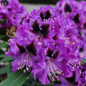 Rhododendron 'Blaue Jungs' -0