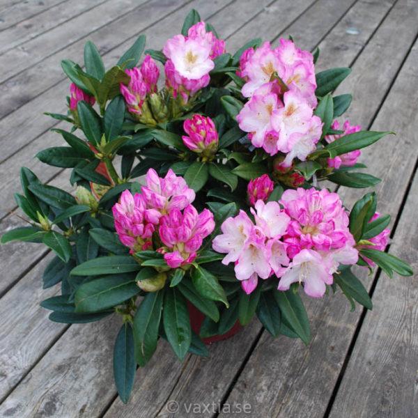 Rhododendron 'Brigitte' -1393