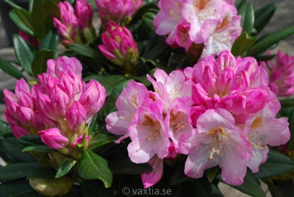 Rhododendron 'Brigitte' -0