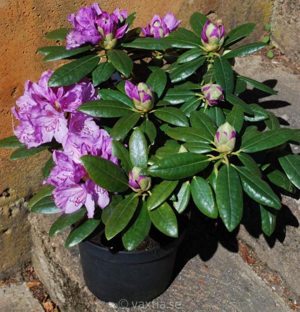 Rhododendron 'Catawbiense Grandiflorum' -1191