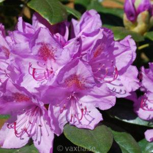 Rhododendron 'Catawbiense Grandiflorum' -0