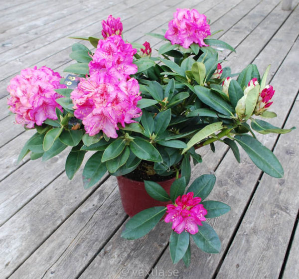 Rhododendron 'Constanze' -1396