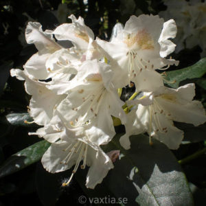 Rhododendron 'Cunningham's White' -0