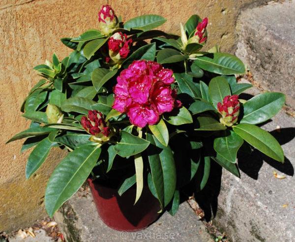 Rhododendron 'Diderk' -1206
