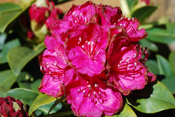 Rhododendron 'Diderk' -0