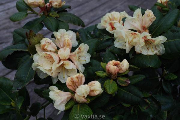 Rhododendron 'Goldbukett'-820