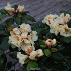 Rhododendron 'Goldbukett'-0