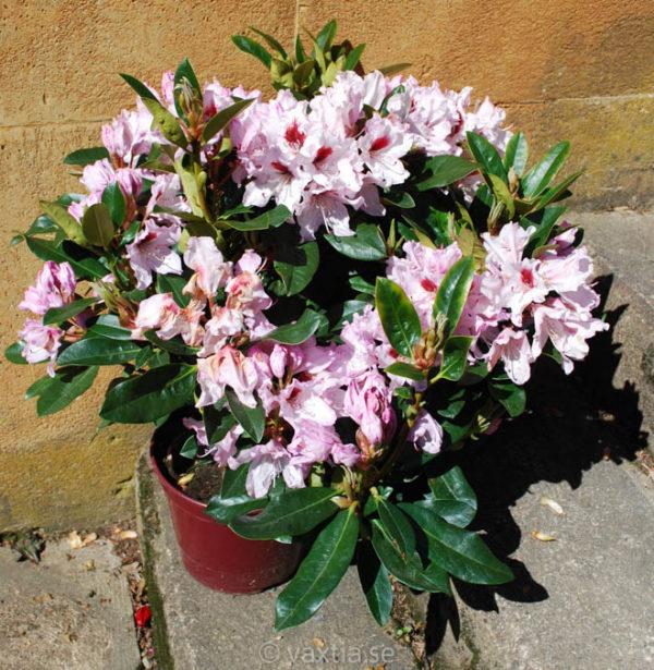 Rhododendron 'Graffito' -1213