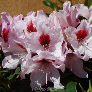 Rhododendron 'Graffito' -0