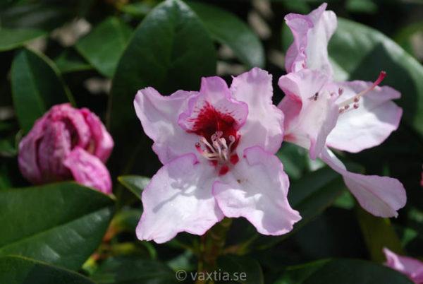 Rhododendron 'Graffito' -1215