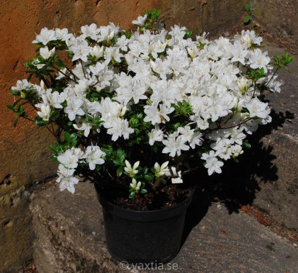 Rhododendron obtusa 'Kermesina Alba'-1192