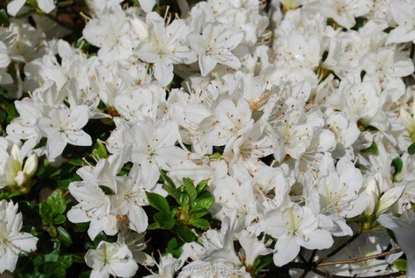 Rhododendron obtusa 'Kermesina Alba'-0