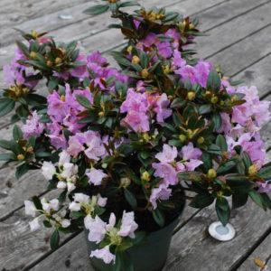 Rhododendron 'Lavendula'-0