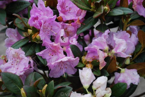 Rhododendron 'Lavendula'-811