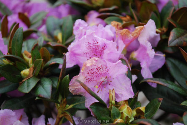Rhododendron 'Lavendula'-810
