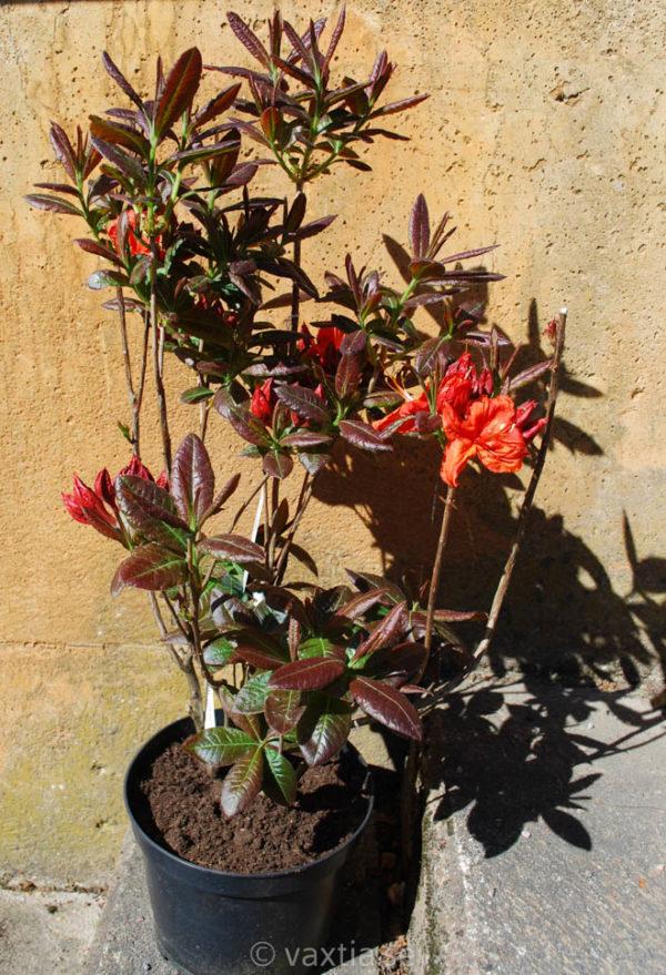 Rhododendron Knap Hill 'Fireball' -1782