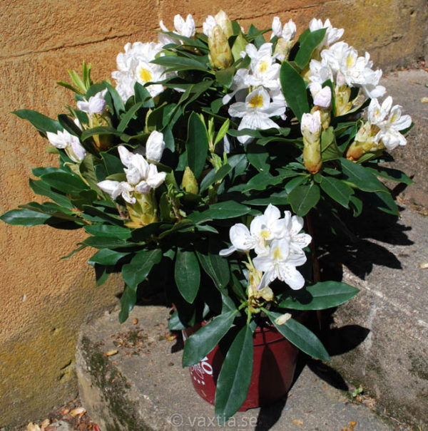 Rhododendron 'Madame Masson' -1207