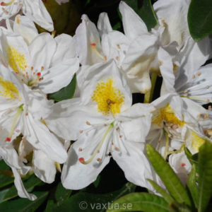 Rhododendron 'Madame Masson' -0