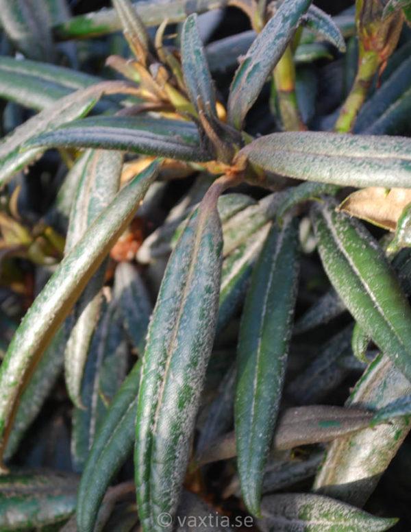 Rhododendron makinoi 'Jens Jörgen Sörensen' -174