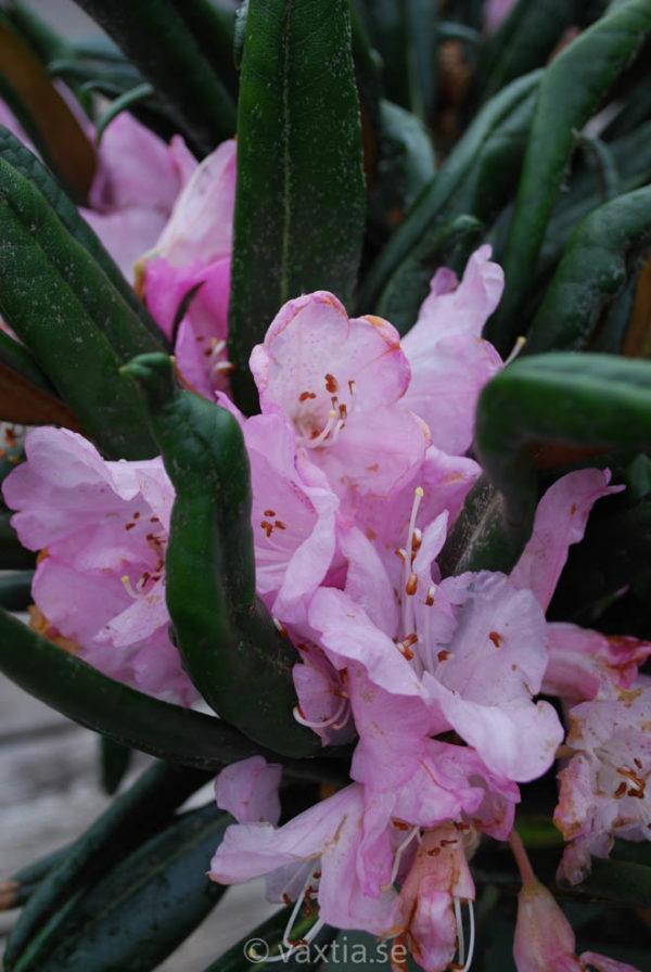 Rhododendron makinoi 'Jens Jörgen Sörensen' -804