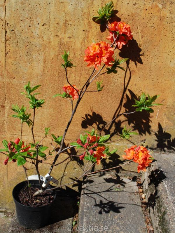 Rhododendron prinophyllum 'Mandarin Lights' -1231