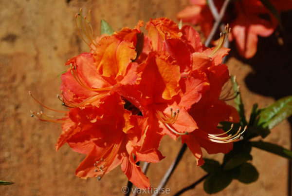 Rhododendron prinophyllum 'Mandarin Lights' -0
