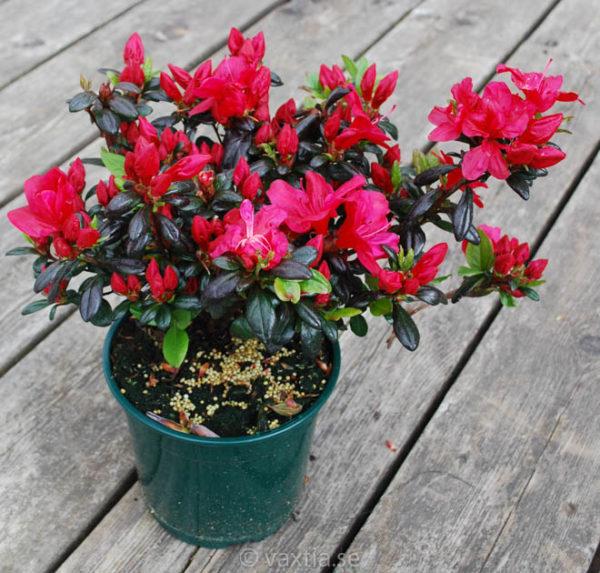 Rhododendron obtusa 'Maruschka' -1196