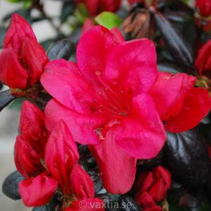 Rhododendron obtusa 'Maruschka' -0