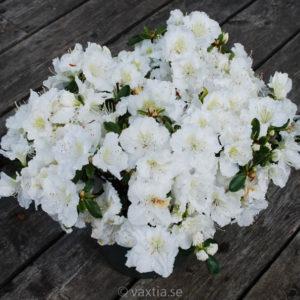 Rhododendron obtusa 'Maischnee'-0