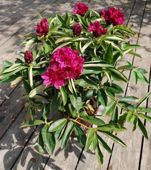 Rhododendron 'Old Port' -1365