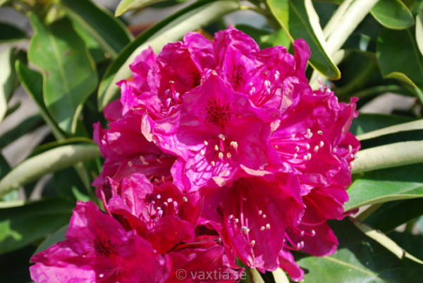 Rhododendron 'Old Port' -0