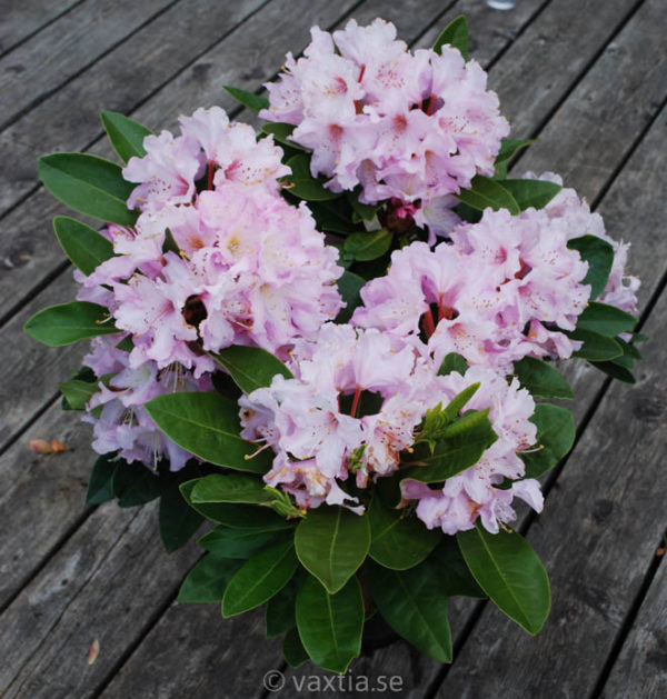 Rhododendron 'Onkel Dines' -1368
