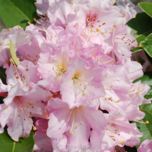 Rhododendron 'Onkel Dines' -0