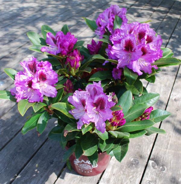 Rhododendron 'Pfauenauge' -1386