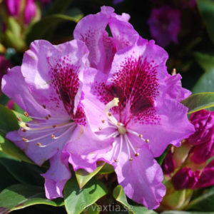 Rhododendron & azaleor