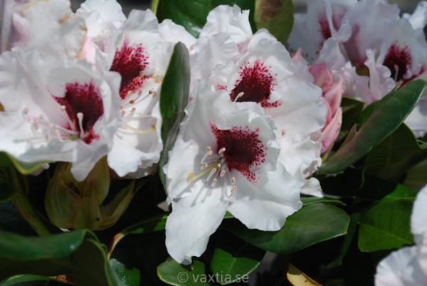 Rhododendron 'Picobello'-0