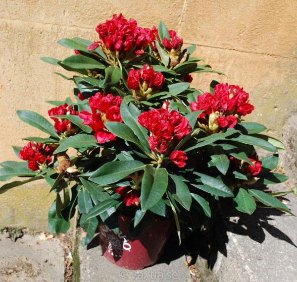 Rhododendron 'Rabatz'-1216