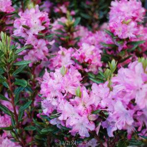 Rhododendron racemosum 'Anna Baldsiefen' -0