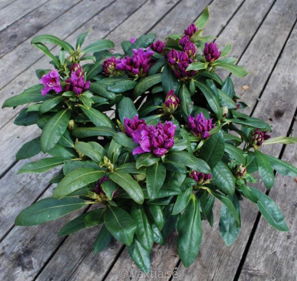 Rhododendron 'Rasputin' -1370