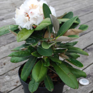 Rhododendron 'Great Dane' -0
