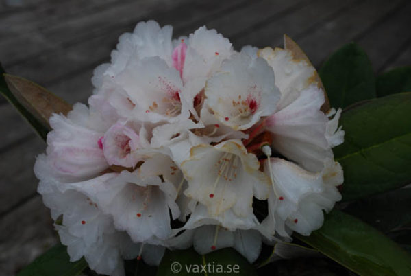 Rhododendron 'Great Dane' -808