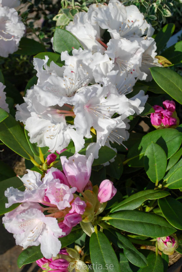 Rhododendron yakushimanum 'Schneekrone'-0