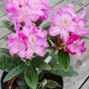 Rhododendron smirnowii -0