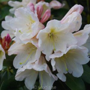 Rhododendron INKARHO 'Weisse Dufthecke'-0