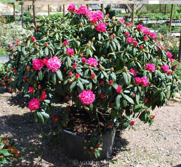 Rhododendron yakushimanum 'Anuschka'-1073