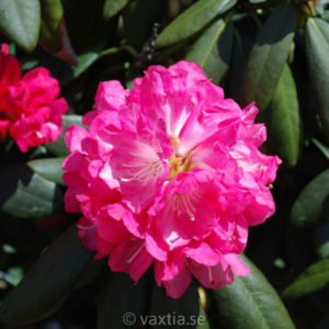 Rhododendron yakushimanum 'Anuschka'-0