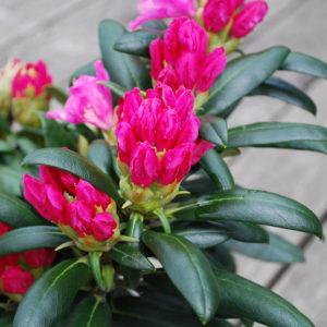 Rhododendron yakushimanum 'Kalinka'-0