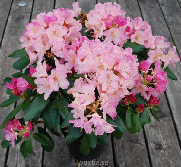 Rhododendron yakushimanum 'Percy Wisemann' -1381