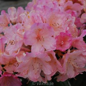 Rhododendron yakushimanum 'Percy Wisemann' -0