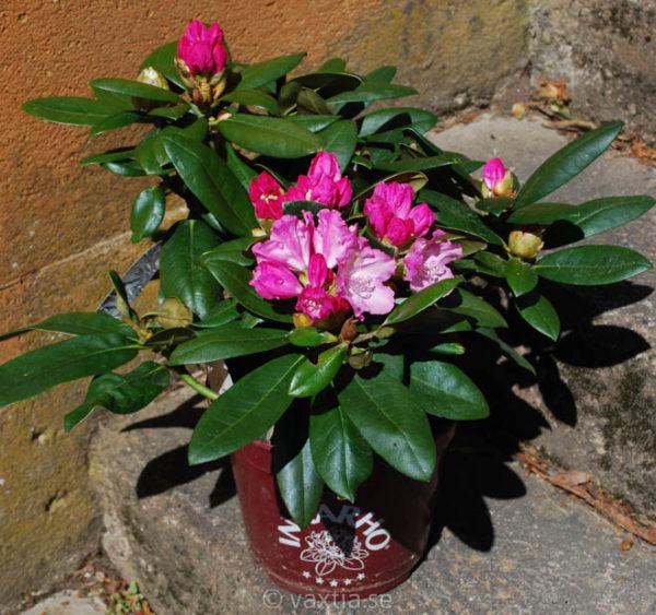 Rhododendron yakushimanum 'Polaris'-1199
